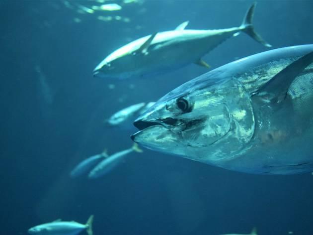 Croatia's prized tuna fish