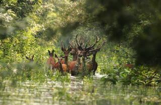 Deer making their way through Kopački Rit