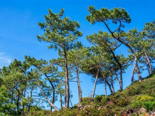 Stone pines, so called for their ability to grow on rocky terrain - like Dalmatia's