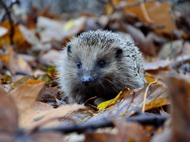 A European hedgehog