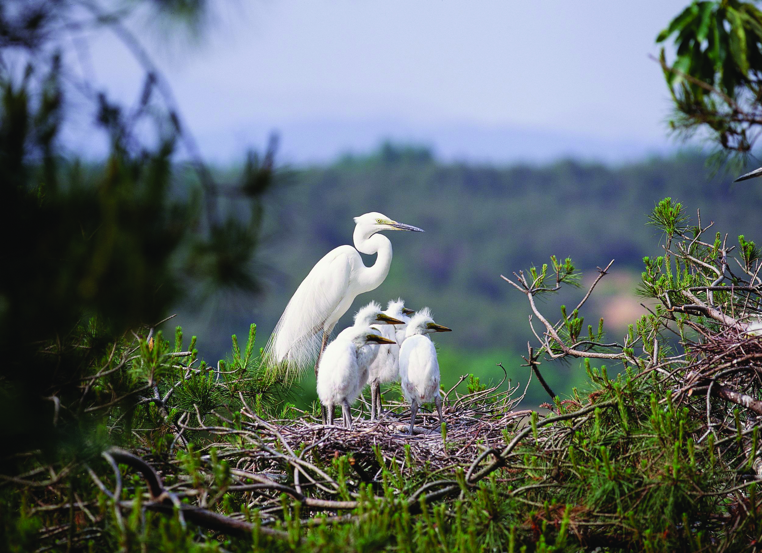 A mother heron with her babies
