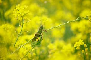 A green European grasshopper