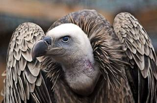 A grand griffon vulture