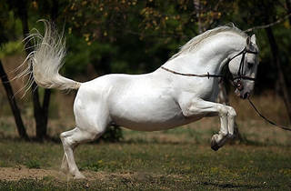 The Lipizzan horse, bred in the regions of Slavonia and Baranja for centuries