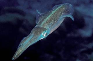 Squid, which usually swim in the Adriatic 30-70 metres below water