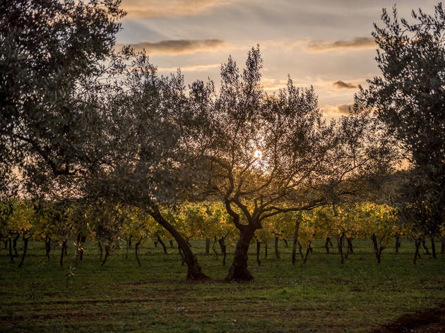 Olive tree groves grace almost every corner of Dalmatia