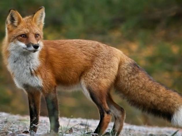 The red fox, a solitary hunter found across Croatia