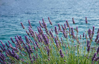 A bed of lavender blooming by the sea