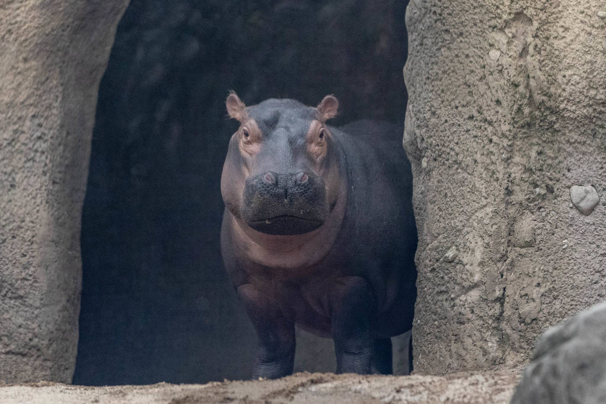 Meet Fiona the hippo, the super-cute Cinci Zoo baby who's melting our hearts