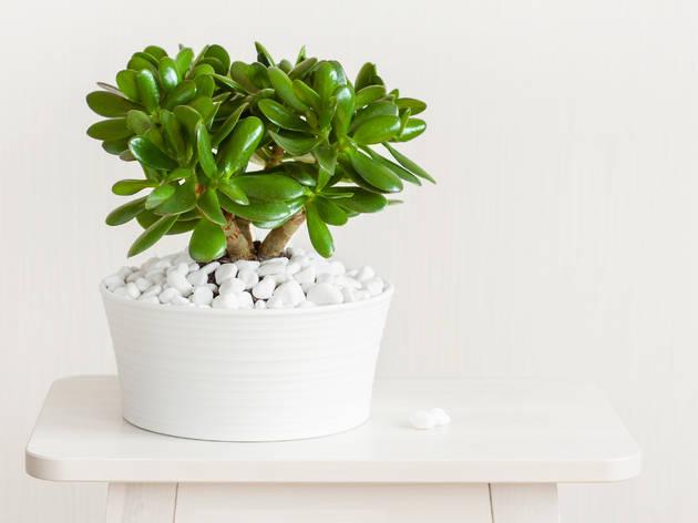 Planta jade Feng Shui
