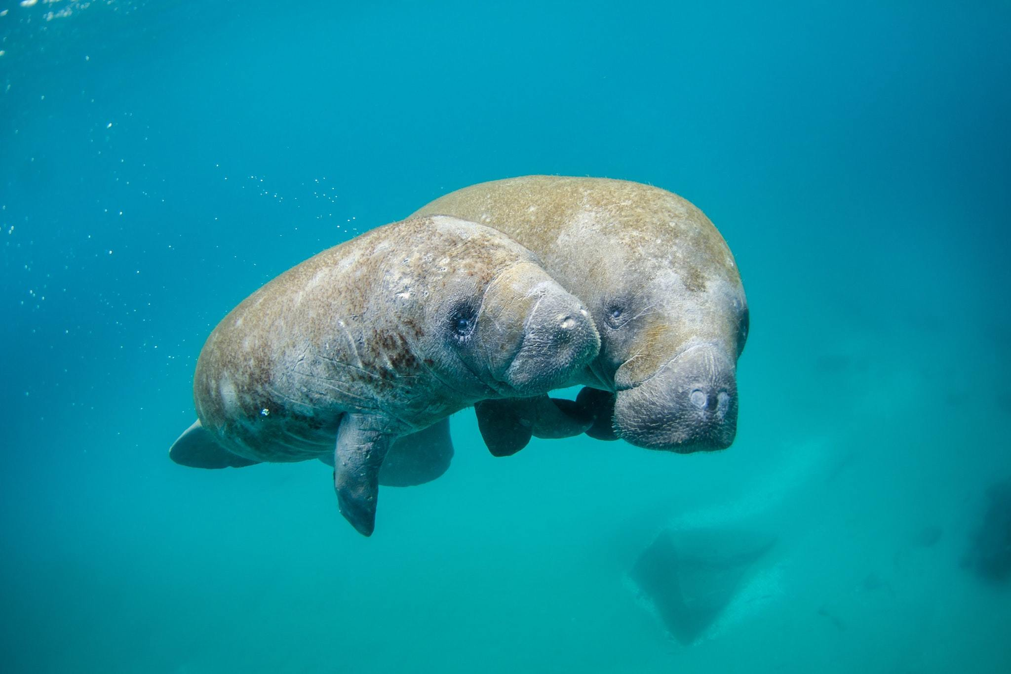 Watch this underwater live-stream of manatees chilling