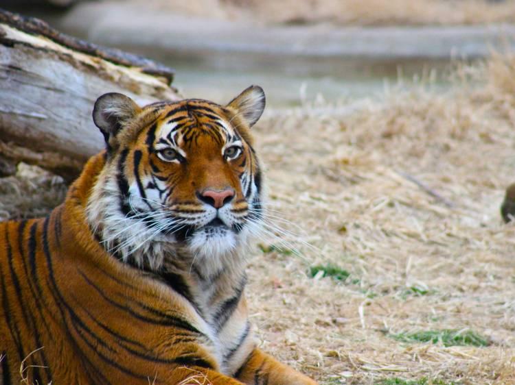 Um tigre consegue digerir ossos do corpo humano