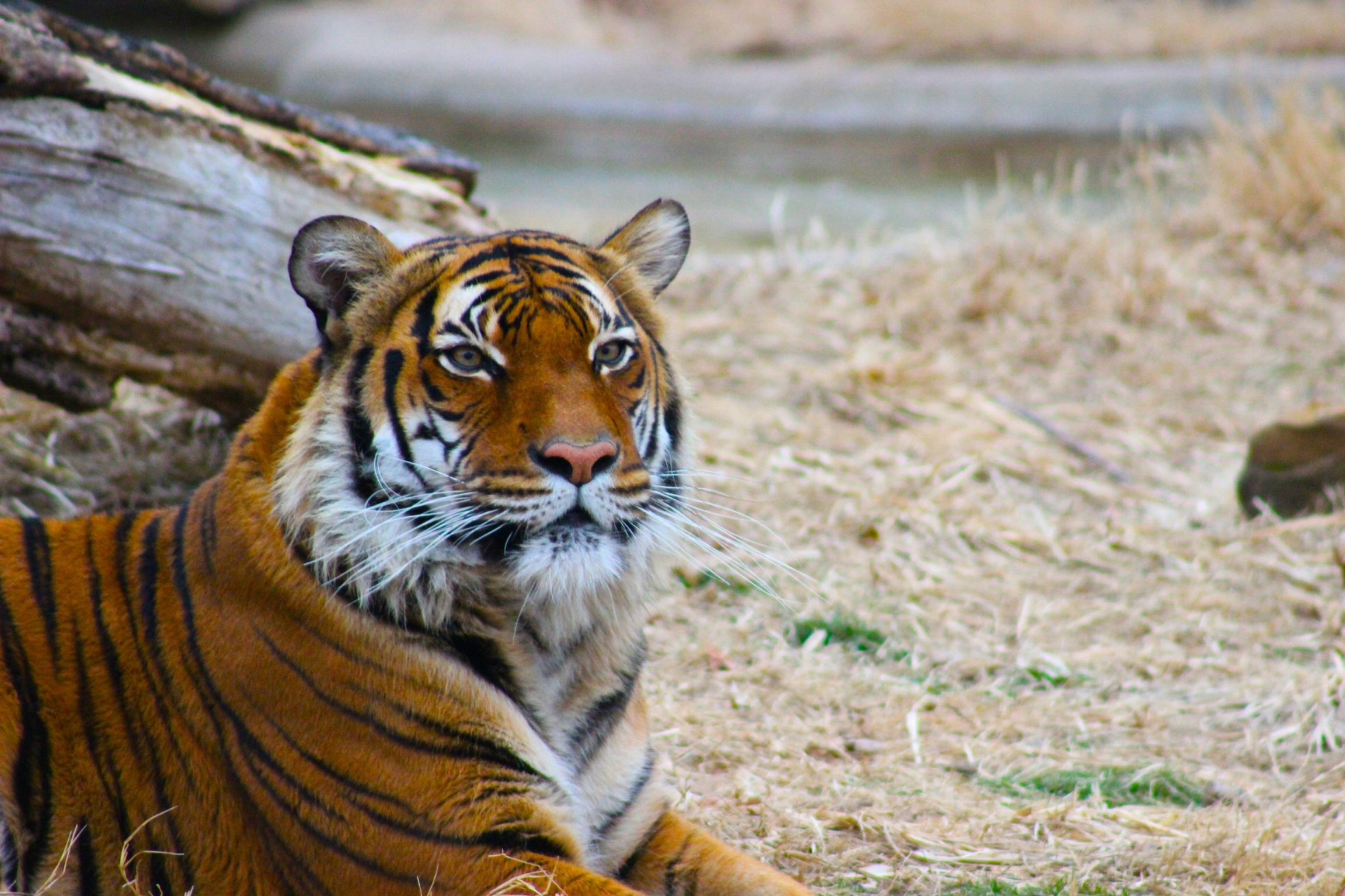 Malayan tiger at Tulsa Zoo