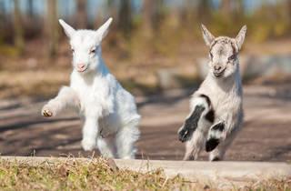 Baby goat live stream