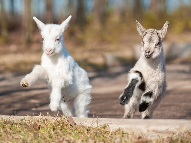 Check out these live cams of super-cute baby goats