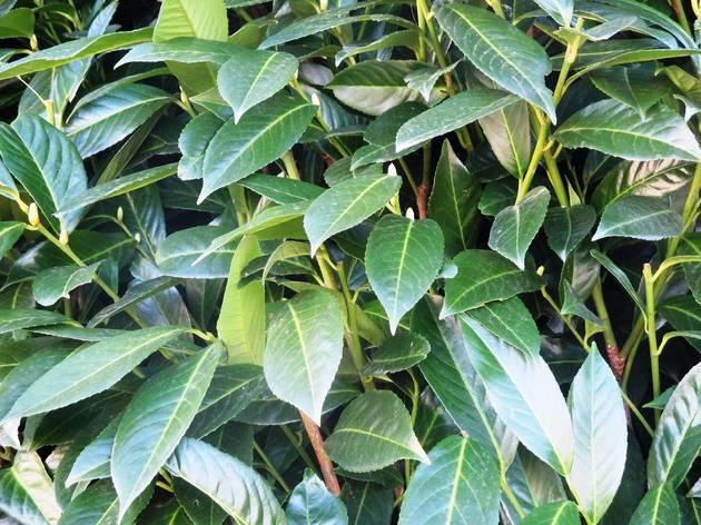 Arbusto, Planta, Laurus nobilis, Laurus, Louro
