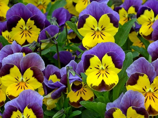 Planta, Flor, Amores-Perfeitos