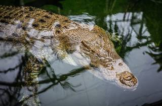 Sydney Wild Life Zoo saltwater crocodile