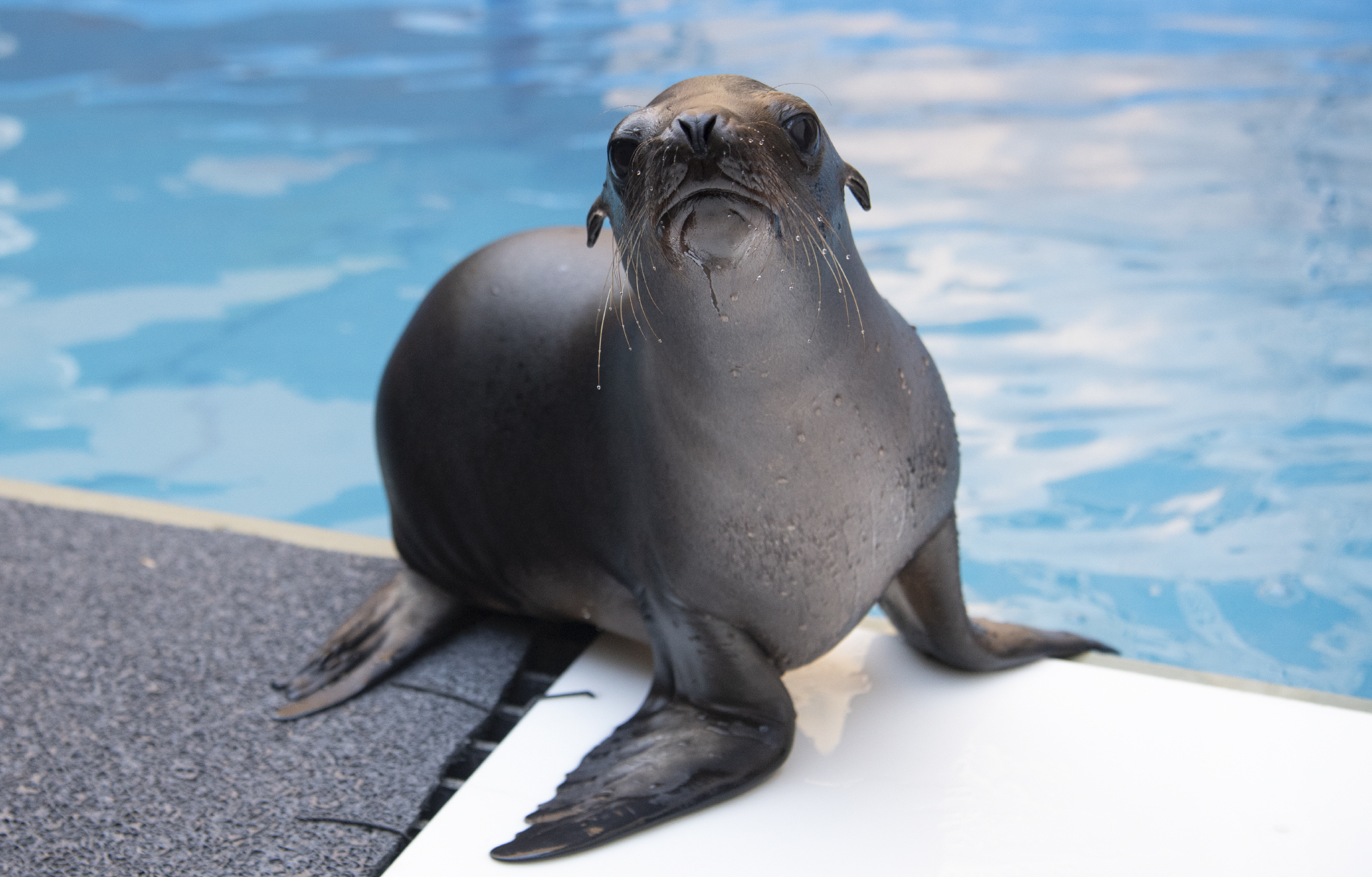 Hang out with the New York Aquarium's new sea lion pup (virtually, of course)