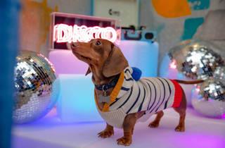 Dachshund Disco