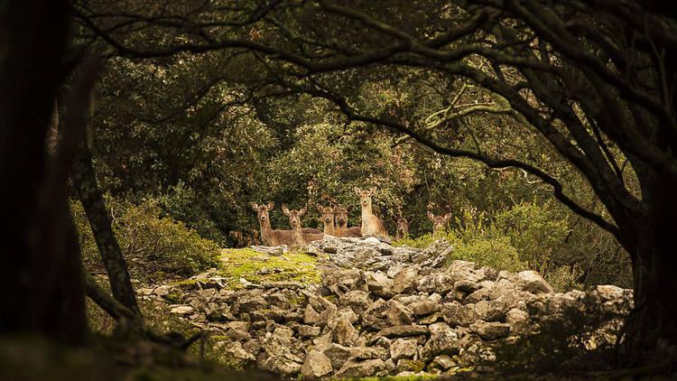 Deer at Brijuni