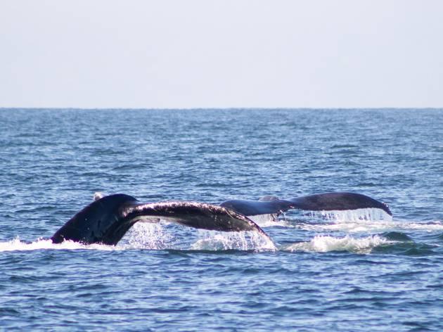 Ballenas jorobadas en el mar de Puerto Vallarta México