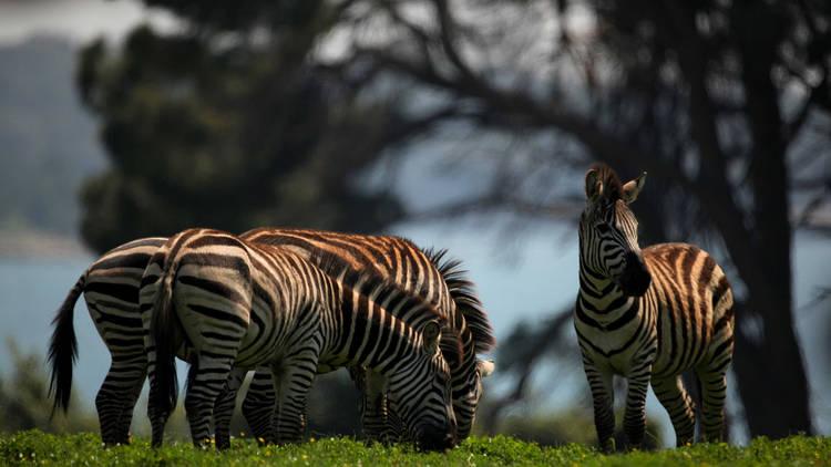 Zebras at Brijuni