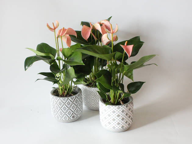 Fleur HK plant