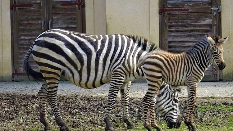 Baby zebra