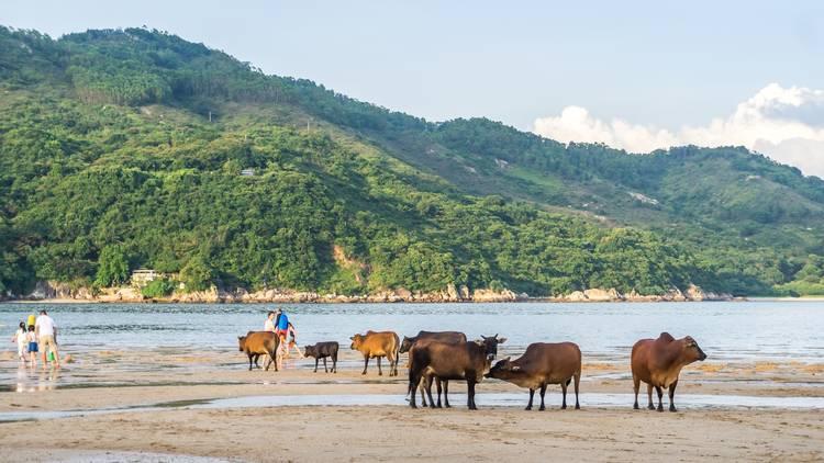 beach cows island
