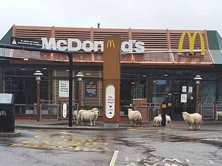 Ovelhas famintas visitaram um McDonald's vazio