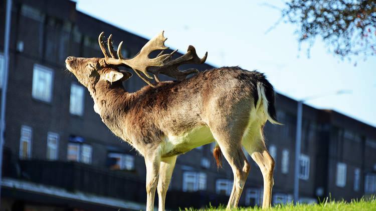 Deer in East London