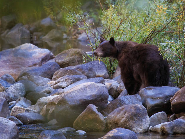 Black bear in Yosemite National Park