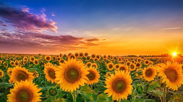 The sunflower fields seem to stretch endlessly across the flat landscapes of Slavonia