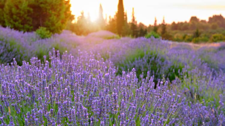 Lavender fields rule areas of Hvar island