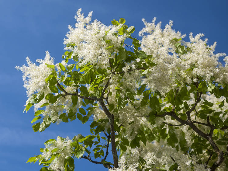 10 eye-catching trees you can spot on lockdown walks around London (picked by an expert)