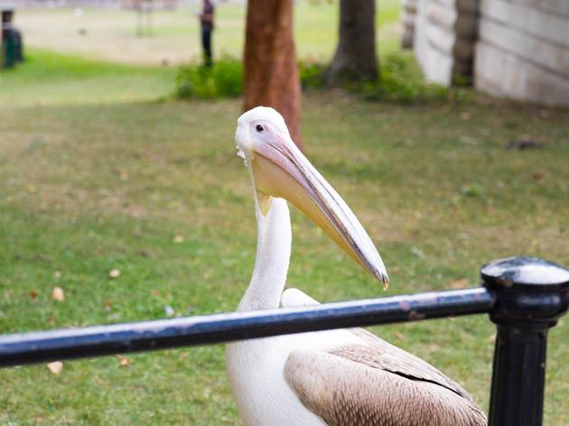 pelicans in london during lockdown