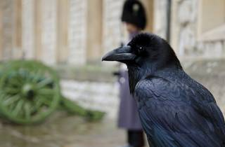 a raven chick at the Tower of London