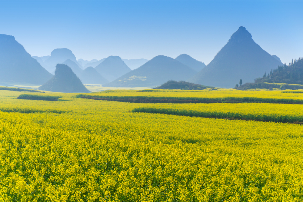 Rapeseed fields in China