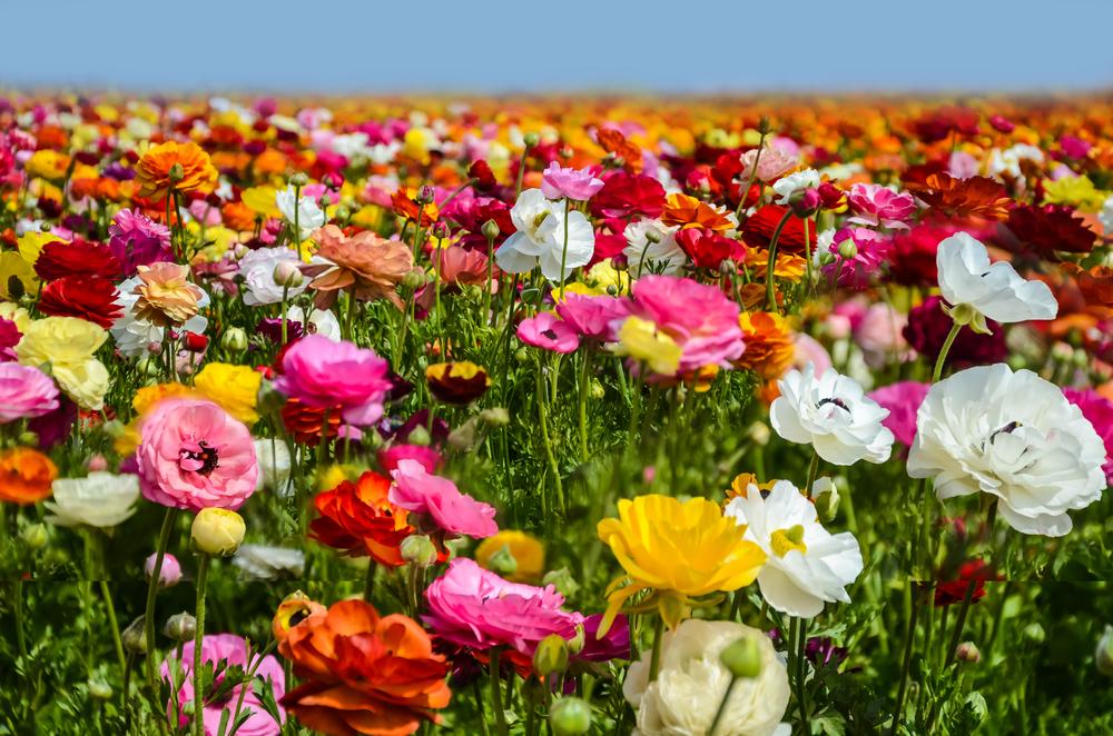Ranunculus fields in Carlsbad, California