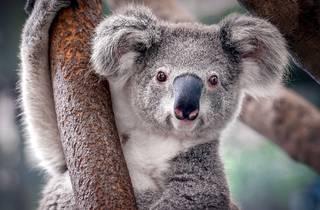 Zoo Cams, Koalas, Penguins, Pandas, Flying Fox