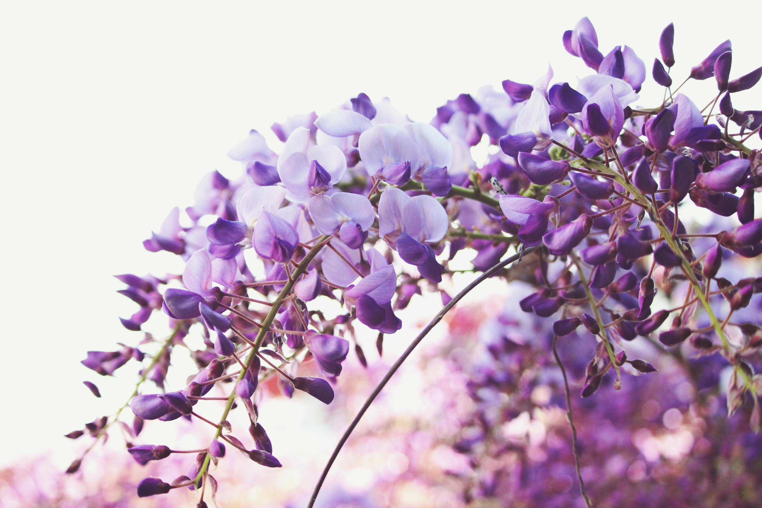 A City In Fukuoka Cuts Off The Wisteria Flowers From A 600 Year Old Tree To Discourage Visitors