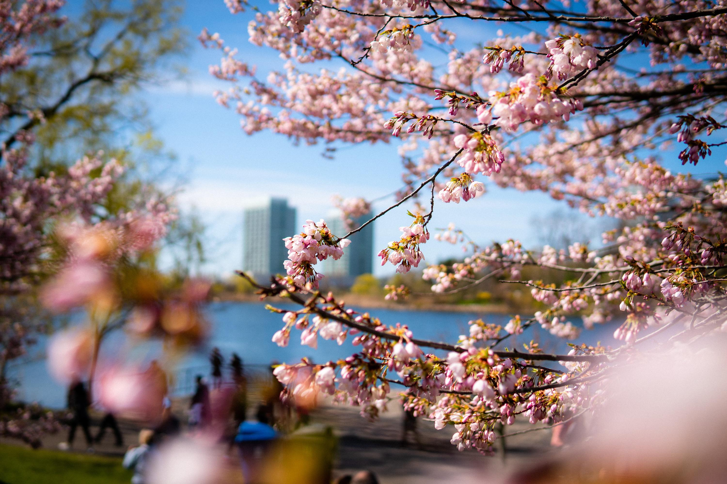 Watch The Toronto Cherry Blossom Bloom On A Live Cam Feed
