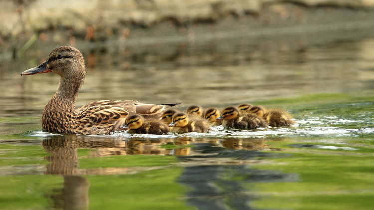 mallard ducks family, mother with ducklings swimming on pond ( Anas platyrhynchos )