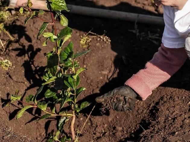 As acções de plantação decorrem com voluntários