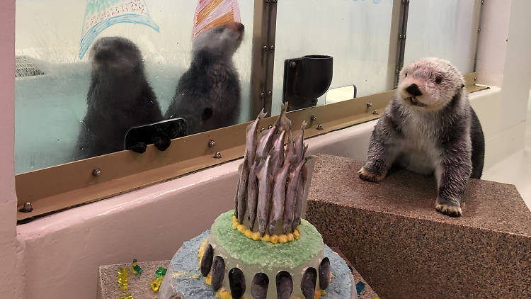 shedd aquarium, otter, birthday, aquarium