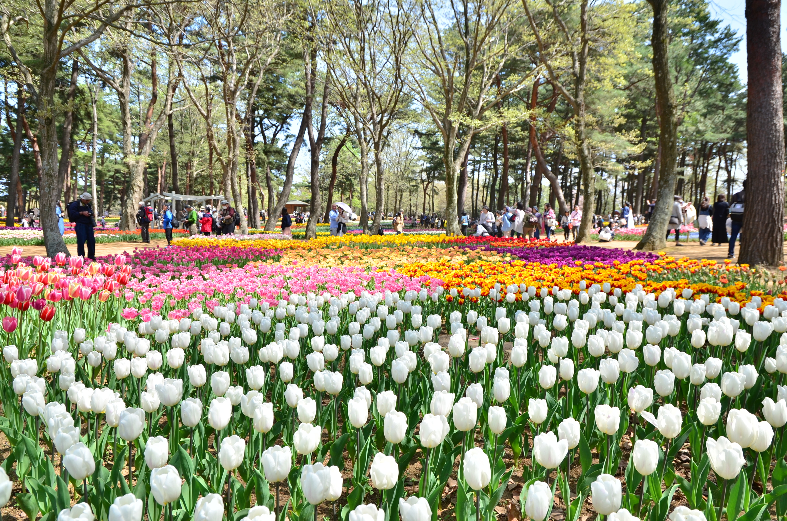 Take a virtual tour of Japan's most spectacular tulip garden