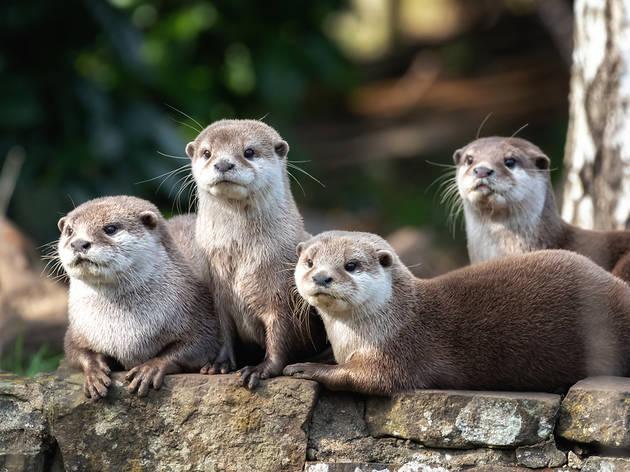 Família de llúdrigues a la Conca del Besòs