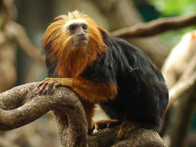 A monkey at London Zoo