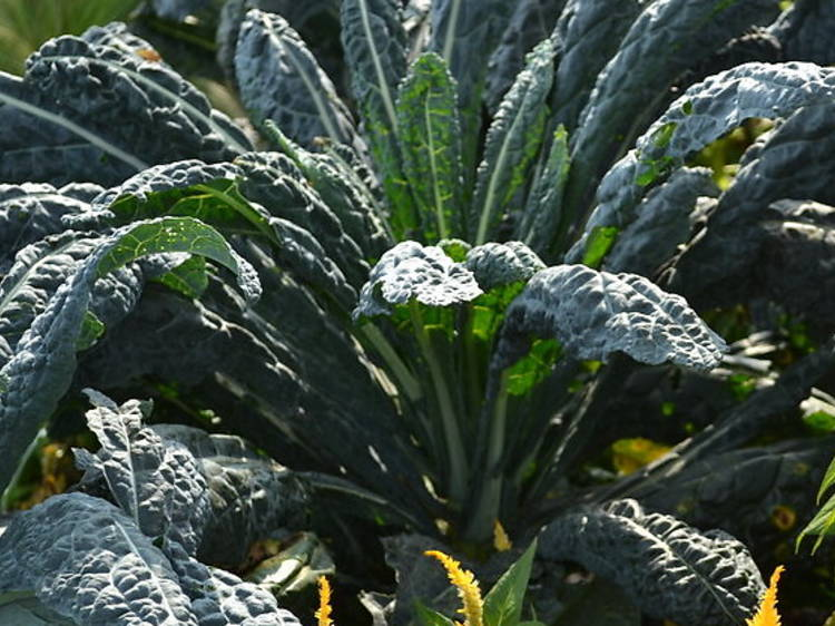 Kale Chips from the Brooklyn Botanic Garden